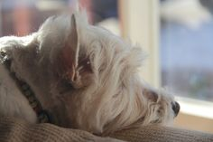 """Lola the Westie loves the windows"" by eric mcduffie"