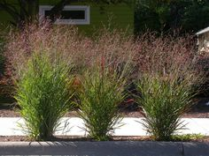 Switchgrass is an upright prairie grass that produces feathery delicate flowers from July to September. There are several switchgrass varieties to choose from and this article will provide more information.
