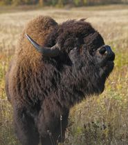I got Take a peek at some huge, hairy bison on a bison safari! Which Wildlife Excursion Should You Try In Manitoba? Parks Canada, Canada Eh, Western Canada, Bison, Canada Travel, Plan Your Trip, Vacation Trips, National Parks, Wildlife