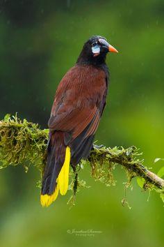 Montezuma Yellow Tail Oropendula