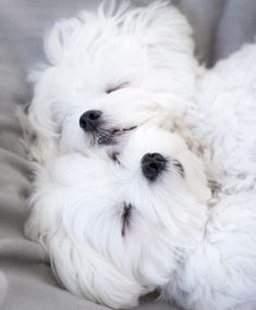 puppies maltipoo white * puppies maltipoo & puppies maltipoo white & puppies maltipoo black & maltipoo puppies for sale & maltipoo puppies for sale near me & teacup puppies maltipoo & maltipoo haircut styles maltese puppies & apricot maltipoo puppies Cute Baby Dogs, Cute Dogs And Puppies, Baby Puppies, I Love Dogs, Doggies, Cute Funny Animals, Cute Baby Animals, Teacup Puppies, Teacup Maltese