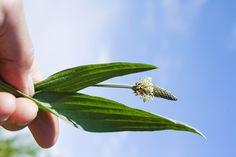 Skorocel je výborný liek na dýchacie cesty, čistenie tráviaceho traktu a efektívne hojí vonkajšie poranenia, uštipnutia hmyzom, vyrážky a modriny