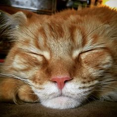 #thelionsleepstonight #bedtime #goodnight #sweetdreams #sleep #meetraoul #redmainecoon #mainecoon #mainecooncat #... The Lion Sleeps Tonight, Maine Coon Cats, Bedtime, Sweet Dreams, Good Night, Red, Animals, Nighty Night, Have A Good Night