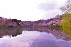 279:「桜咲く」@三ッ池公園