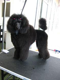 miniature poodle - scandinavian clip