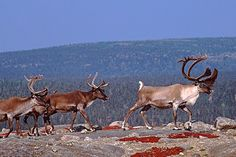Status: Endangered   Around 32,000 caribou inhabit about 1.5 million square miles of Canada's boreal forest. That's a lot of room to run, but it's less than half the area they roamed in the 19th century, when boreal caribou numbered in the hundreds of thousands. Their population continues to …