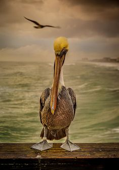 That's Mr. Pelican to You - photograph by Steven Reed.  #stevenreed #fineartphotography #wildlifephotography