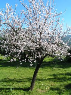 Mallorca zur Mandelblüte