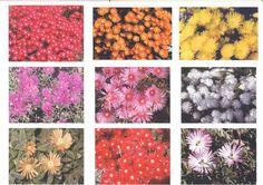 SPECIAL PRICE  15 PIGFACE PLANTS Stunning when in FLOWER pig face  | eBay Coastal Gardens, Garden Theme, Flower Power, Garden Design, Whimsical, Succulents, Seeds, Bulb, Colours