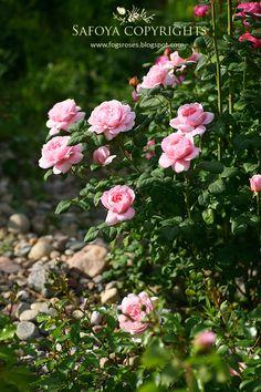Teraz najważniejszym miejscem w moim ogrodzie jest różanka. Codziennie rozkwitają nowe róże. Jest już naprawdę kolorowo :) To cudowna Evel...