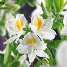 Gulrododendron 'Schneegold'