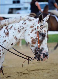 Horse Leopard appaloosa