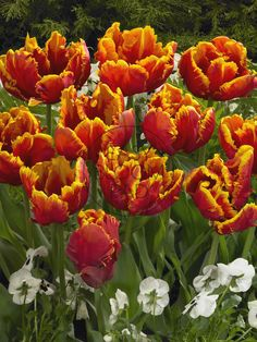 Tulip 'Bright Parrot' Tulips Flowers, Daffodils, Spring Flowering Bulbs, Spring Garden, Parrot, Iphone Wallpaper, Ann, Bloom, Gardens