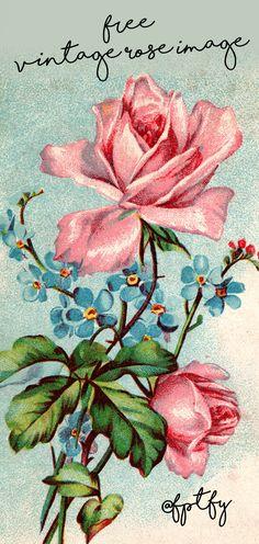 Gorgeous Pink Vintage Garden Rose Image - Royalty Free