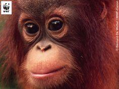 Close up Bornean orang-utan Malaysia © Russell A. Mittermeier WWF-Canon by WWF-Australia, via Flickr