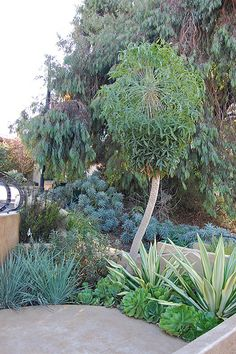 Nice combination planting of Cussonia spicata (the tree) and Furcraea foetida 'Mediopicta' and Aeonium canariense.