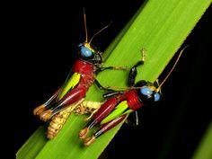 Colorful grasshoppers, Megacheilacris bullifemur | Flickr - Photo Sharing!