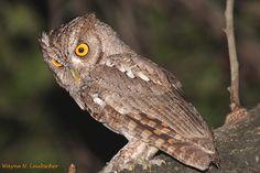 Pacific Screech Owl (Megascops cooperi). Photo by Wayne Laubscher.