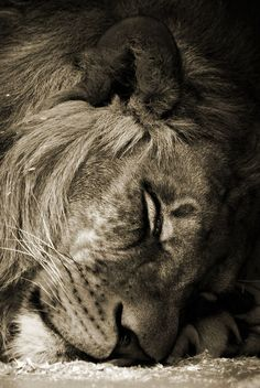 'Sleeping Lion - Der schlafende Löwe' by Jürgen Bürgin on artflakes.com as poster or art print $26.34