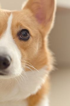 Pembroke Welsh Corgi - by sheed Just half of a Corgi face is SO expressive it warrants this type of photo wholly. Cute Puppies, Cute Dogs, Dogs And Puppies, Teacup Puppies, Corgi Dog, Dog Cat, Welsh Corgi Pembroke, I Love Dogs, Best Dogs
