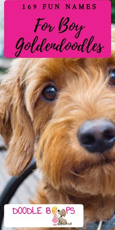 There are 169 fun and fresh male dog names on this list that are perfect for your Goldendoodle or any other dog. Naming your Doodle Dog is serious business. You both will use the name you choose for their entire life. Goldendoodle Full Grown, Goldendoodle Names, Goldendoodle Grooming, Mini Goldendoodle Puppies, Goldendoodles, Labradoodle, Dog Names Male, Puppy Names, Cool Doodles