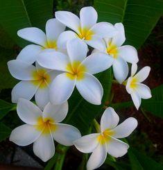 Plumeria- Favorite Flower!