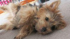 #dog #norfolkterrier #dogfessional #pawstruck #dogvacay #norfolkterriersofinstagram #topdogphoto #dog_features #petstagram #terrier #hounds #blacktan #doglovers #terrierstagram #love #dogs_of_instagram #dogstagram #doglife #excellent_dogs #animals #nature #ilovemydog #dogsoftheworld #instagramdogs #puppylove