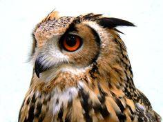 The Owl by Belvin.deviantart.com on @deviantART