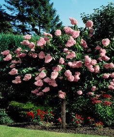 Cottage Farms Direct | Pink Diamond Hydrangea Tree