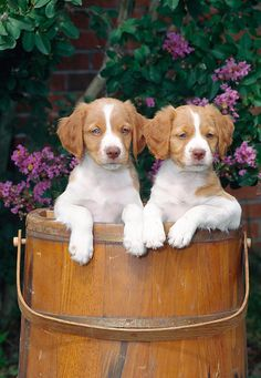PUP 10 CE0045 01 © Kimball Stock Two Brittany Spaniel Puppies Sitting In Wooden Bucket By Pink Blossoms