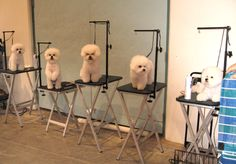 Conformation for the Bichon Frise. Photo courtesy of the Bichon Frise Club of America.