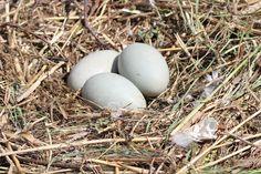 Ilmainen kuvapankki: Kyhmyjoutsenen munat