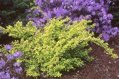 """Berberis thunbergii """"Aurea"""", 3-4 ft tall, 3-5 ft wide, full sun, dry soil"""