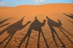Camels at sunset in the Moroccan Sahara