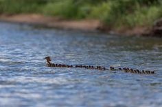 A Minnesota wildlife photographer captures a powerful image of a Merganser raising dozens of babies. 'Super mom' spotted on a Minnesota lake — with 56 ducklings in tow Choppy Water, Audubon Society, Funny Animals, Cute Animals, Farm Animals, Colossal Art, Powerful Images, Belle Villa, Super Mom