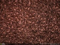 Huge Scale Of Bats Hibernation