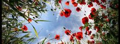 Red Poppies~