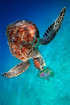 Green Turtle eating Jellyfish - Dimakya Island, Philippines