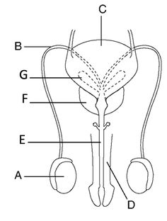 The diagram below represents the human male reproductive
