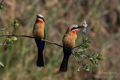 Botswana | Okavango Delta | White-fronted bee-eaters #botswana #okavangodelta #africanbirds #ptaki #birds #africannature #birdsofafrica #beeeaters