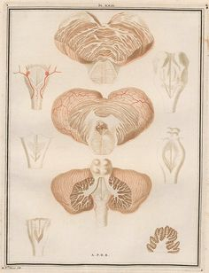 Eclectic historic science and art images from rare books and prints Caudate Nucleus, Nervous System Anatomy, Scientific Drawing, Anatomy Art, Psychiatry, Antique Prints, Art Images, Brain, Photos