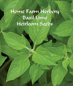 Basil Lime Heirloom Seeds, Order now    Home Farm Herbery loves the sweet and fragrant Basil Lime herb with a mild citrus taste and fragrance. It is an annual and does well in a container or in your garden.    This is a rare and hard to find seed variety, Lime basil is sweet and fragrant with a mild citrus taste. The lime scent of the bright green, lance-shaped leaves pair perfectly with lemon basil for a full explosion of tangy fresh flavor. Excellent for flavoring sauces, dressings and…