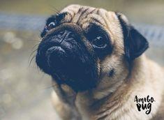 Existe Pug para doação? | Tudo sobre a raça Pug