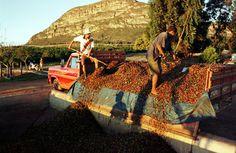 #coffee harvest
