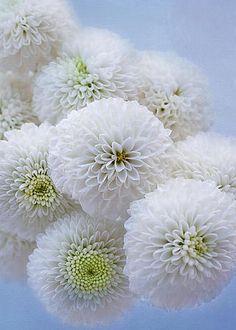 Snowballs-Pom Mums by Kim Hojnacki