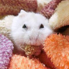 食べる時は必死(笑)  #ジャンガリアンハムスター#ジャンガリアン#ハムスター#パール#パールホワイト#可愛い#もふもふ #うー吉#家族#cute#family#Djungarianhamster#hamster#animal#pet#ペット #ふわもこ部#hamstergram#hammy#love#animal#dwarfhamster#happy_pets#hammy#kaumo by ushikichi