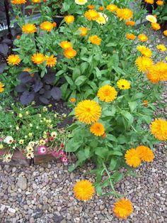 Calendula Nova. http://www.mandycanudigit.co.uk/#!autumn-sowing-annuals/c1505