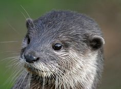 Cute but predatory: The otter is hard to find
