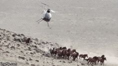 """Set absurdly low population levels, cry """"overpopulation"""" when mustangs and burros exceed them, THEN conduct cruel roundups. 