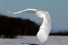 Male Snowy Owl | Late January Afternoon Takeoff - Male Snowy Owl photo - Mike Reshitnyk ...